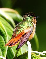 Scintillant hummingbird female