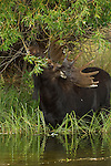Moose foraging leaves along the edge of a pond in Northwest Wyoming.