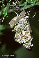 LE37-008c  Butterfly - Painted Lady Butterfly emerging from chrysalis - Vanessa cardui (series - LE37-004a,005b,006b, 007a,008c,015b)