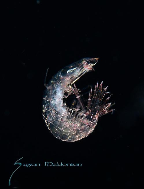 amphipod Oxycephalus, definitely a hyperiid amphipod - a male Oxycephalus (probably clausi), ID. by Dr. Bill Browne, UM