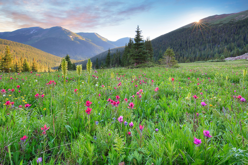 In a high alpine meadow in the Rocky Mountains, colorful Colorado wildflowers begin to bloom as the sun rises over a distant ridge.