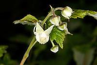 Himbeere, Blüten, Rubus idaeus, Raspberry, Framboisier