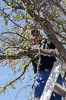 Querétaro; Qro. 10 de Enero del 2014.- Trabajadores del municipio de querétaro, retiran adornos navideños de las plazas públicas, en esta ocasión es de plaza constitución. <br /> Por lo que desarmaron el árbol de navidad que ahí se encontraba y las series de luces entre los árboles, también fueron retiradas. <br /> <br /> Foto: Rosa María Salinas/ Obture Press Agency