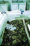 Loch Fyne oysters,  farmed in tanks.    West Coast of Scotland