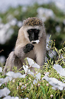 Vervet Monkey (Chlorocebus pygerythrus) eating tissue flowers, Africa.  Common monkey of the african savannas--here on the Serengeti Plains.