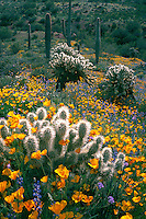 Mexican goldpoppy, Coulter's lupine, <br />