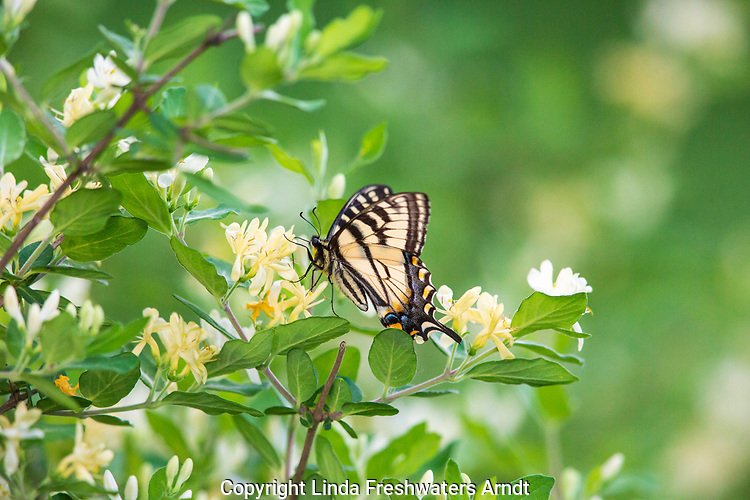 Eastern tiger swallowtail sipping the nectar from honeysuckle flowers.