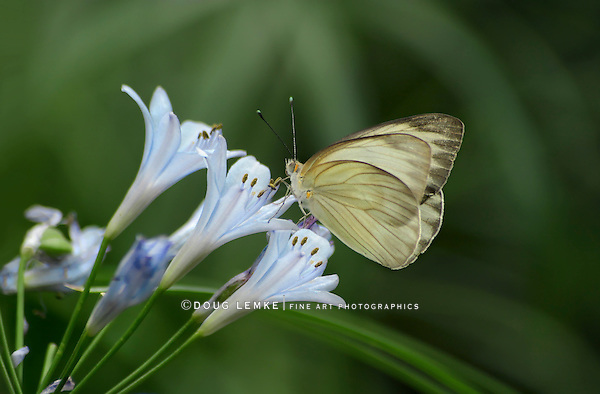 Small Butterfly, Tropical White, Ascia Monuste,