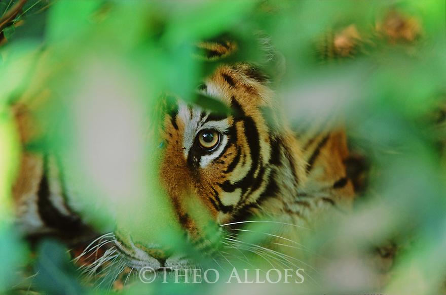 Bengal tiger in hiding, Bandhavgarh national Park, India