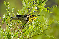 Townsend's warbler, Dendroica townsendi. Wildrose Canyon, Death Valley National Park, California