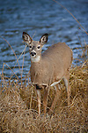 Whitetail doe and river
