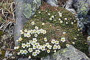 Diapensia - Diapensia lapponica - along the Appalachian Trail in the White Mountains, New Hampshire USA during the summer months.  Found at higher elevations (alpine zone) and in exposed areas around rocky ledgeselevations(alpine zone) and in exposed areas around rocky ledges