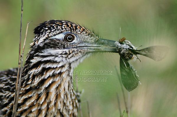 Greater Roadrunner (Geococcyx californianus), adult with moth prey, Laredo, Webb County, South Texas, USA