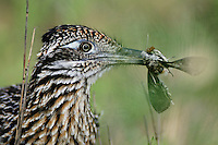 Greater Roadrunner (Geococcyx californianus), adult with moth prey, Laredo, Webb County, South Texas, USA