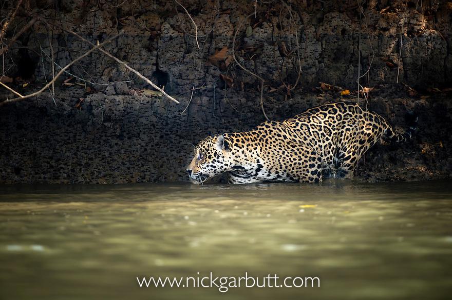 Wild male Jaguar (Panthera onca palustris) entering the Piquiri River, a tributary of Cuiaba River, Northern Pantanal, Brazil.