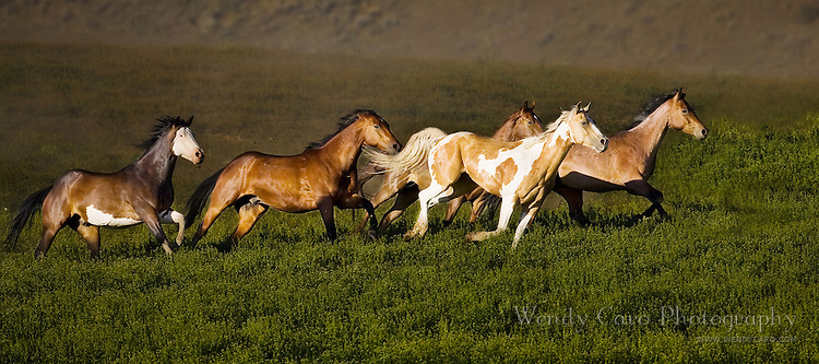 Panorama of mustangs galloping across a pasture