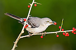 Northern Mockingbird perched  on a branch eating red berry