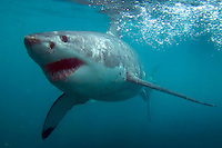 Diving with the Great White Sharks, Gansbaai, South Africa