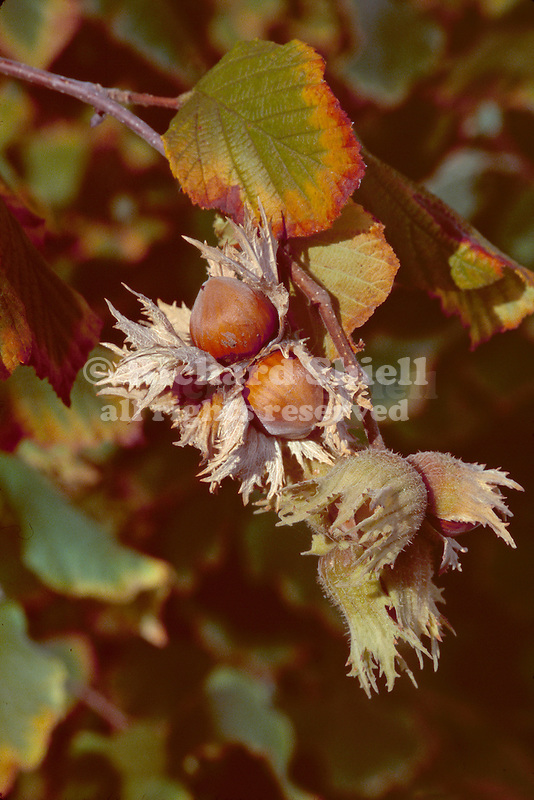 12830-CS Hazelnuts or Filberts, Corylus maxima `Barcelona', branch with edible nuts in papery husks , at Mourning Cloak Ranch, Tehachapi, CA USA.