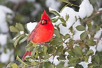 01530-21217 Northern Cardinal (Cardinalis cardinalis) male in American Holly tree (Ilex opaca) in winter, Marion Co., IL
