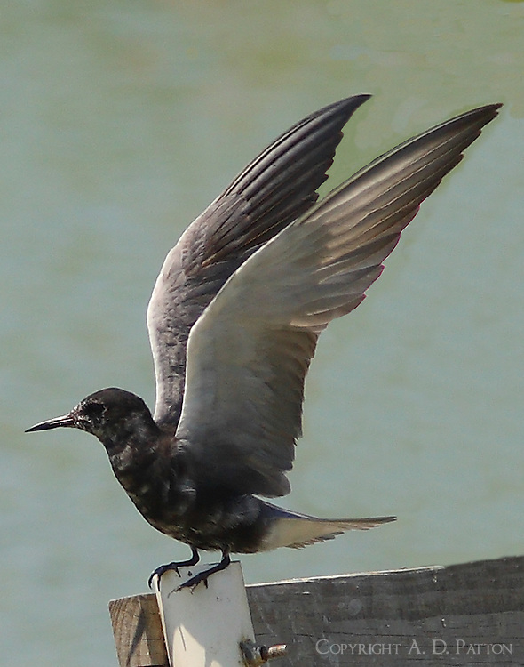 Adult black tern with wings raised