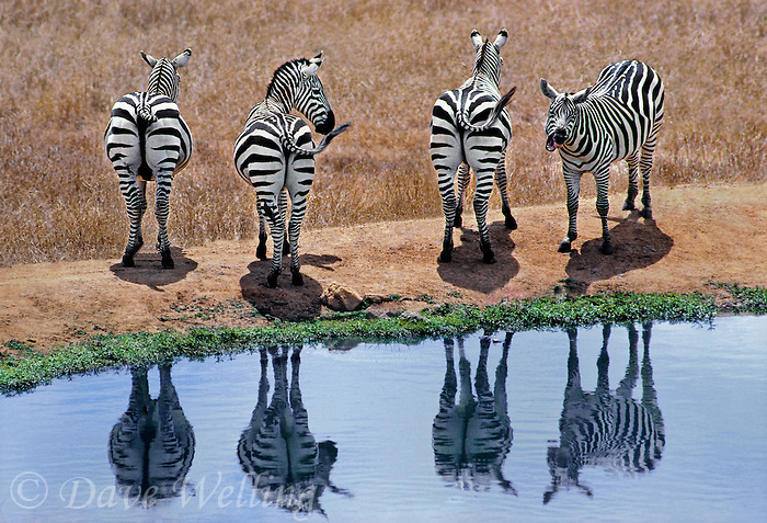 69939009 a small herd of burchells zebras equus burchelli graze and drink at a small waterhole in tsavo national park kenya