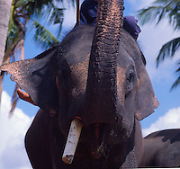 Indian elephant close up with trunk in the air. Bali Indonesia.
