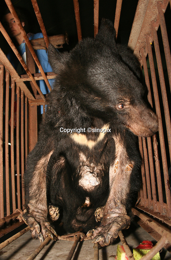 "Bear named ""Chengdu Truth"" was rescued in Chengdu, Sichuan, China conducted by Animals Asia Foundation. Chengdu Truth was dead finally. The foundation rescued 28 ""moon"" bears from horrendous bea-bile farms in the area. Animals Asia is run and founded by UK national Jill Robinson, M.B.E."