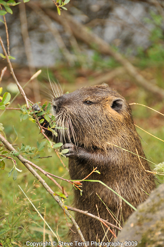 Nutria eating dinner in Oregon