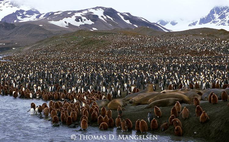 Southern elephant seals lay amidst a king penguin colony at St. Andrew Bay on South Georgia.