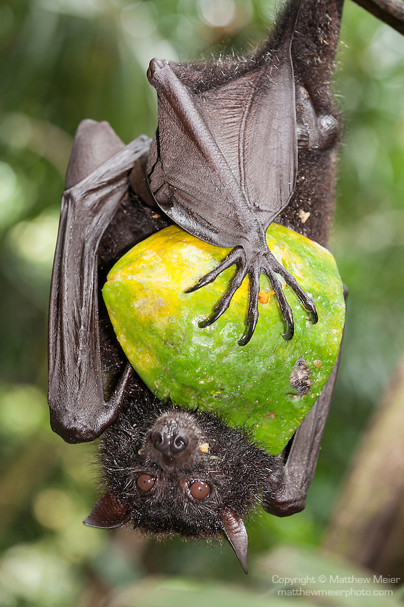 Bali, Indonesia; a large fruit bat or flying fox hanging upside down from a tree branch while clutching a meal