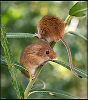 BNPS.co.uk (01202 558833)<br /> Pic: PhilYeomans/BNPS<br /> <br /> Harvest Mice - Derek is breeding several species of native wild animals to populate his 'stone age' park.<br /> <br /> Back to the future - A farmer is returning his land back to the Stone Age and reintroducing species of wild animals once extinct in the UK - after becoming disenchanted with 'unsustainable' modern farming techniques.<br /> <br /> Derek Gow is using a herd of Nazi-engineered cows to spearhead his radical rewilding scheme that will create the farming version of Jurassic Park.<br /> <br /> The Heck cows that died out in the Iron Age were re-established in Nazi Germany in the 1930s as part of a genetics programme to create a breed of super cattle.<br /> <br /> Joining them on Mr Gow's 115 acre ring-fenced plot of upland in Devon will be rabbit-eating wildcats, wild boar and beavers.