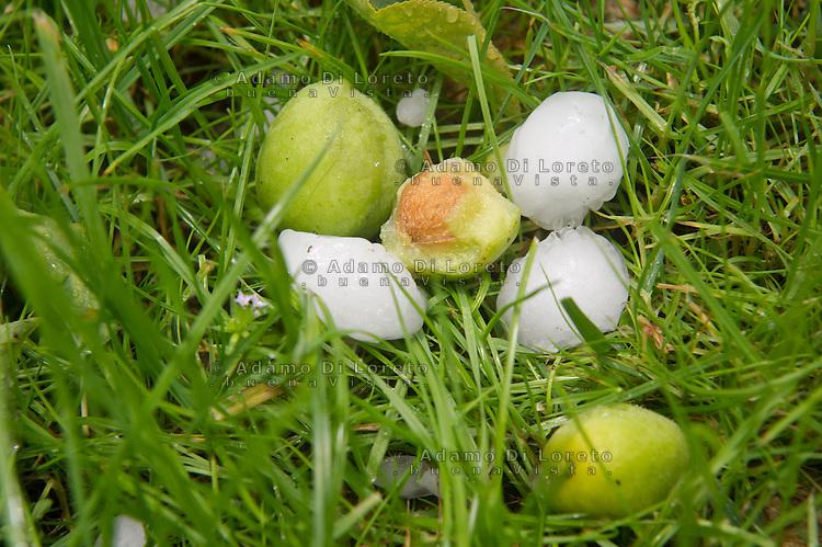 Silvi 10/06/2013: I temporali estivi, con fenomeni di grandine, hanno un impatto devastante sulle colture agricole. Causando molte volte la rovina di un intero raccolto stagionale.