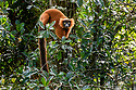 Female red ruffed lemur (Varecia rubra) in lowland rainforest understorey. Masoala National Park, north-east Madagascar. Endemic. Critically Endanged.