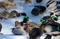 Two mallard ducks, Anas, male on the icy river, Maine, USA