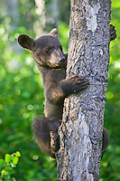 Cinnamon Black Bear cub clinging to the side of a tree