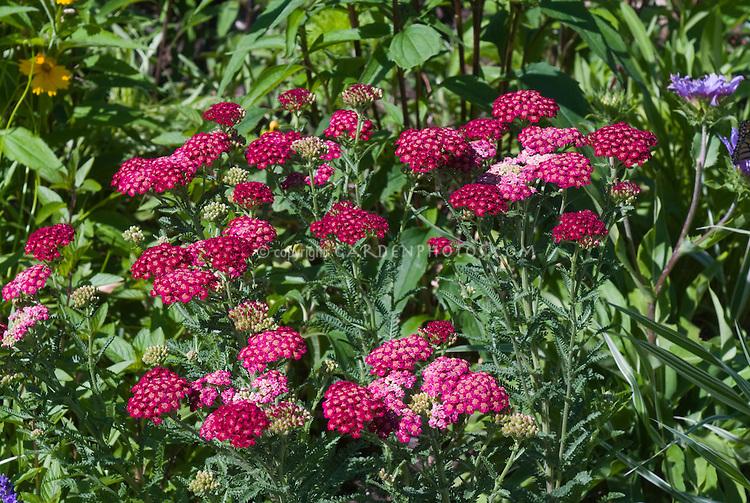 Achillea millefolium, red, yarrow species
