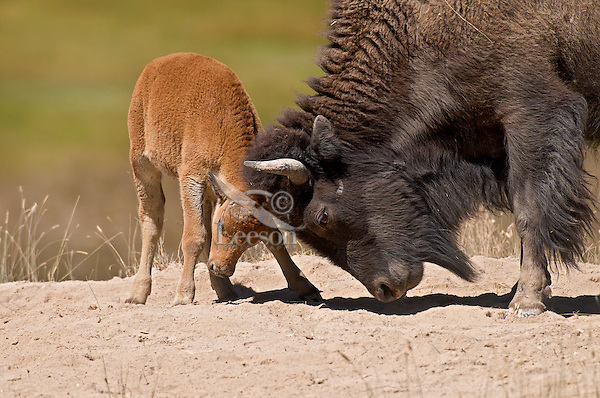 American Bison (Bison bison) cow with calf being playful.  Northern Great Plains.  Summer.
