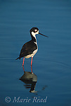 Black-necked Stilt (Himantopus mexicanus), Bolsa Chica Ecological Reserve, California, USA<br /> Slide # B54-43