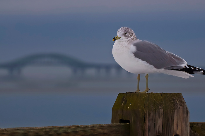 Seagull in front of the Robert Moses Bridge in Babylon Village, Long Island, New York