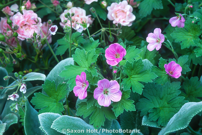 Geranium 'Mavis Simpson' and Geranium riversleaianum with Stachys 'Silver Carpet' in Robin Parer garden