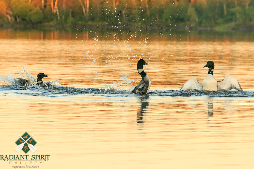 &quot;Two's Company; Three's a Crowd&quot;<br /> Two common loons square off in the penguin dance at sunset in the Boundary Waters Canoe Area Wilderness. This behavior is typically displayed when a loon is protective of a feeding area, its young, or (in this case) its mate.