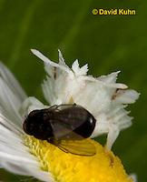 0910-0804  Ambush Bug Nymph Consuming Prey - Phymata spp. Virginia - © David Kuhn/Dwight Kuhn Photography.