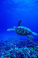Green Sea Turtles,known by the Hawaiians as Honu's, can be seen swimming throughout the warm waters surrounding the Hawaiian islands.