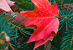 Red Fall Maple Leaf