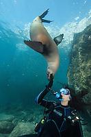QT0295-D. California Sea Lion (Zalophus californianus) interacting with scuba diver (model released), gently biting diver's glove. Baja, Mexico, Sea of Cortez, Pacific Ocean.<br /> Photo Copyright &copy; Brandon Cole. All rights reserved worldwide.  www.brandoncole.com
