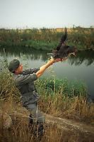 Forestali liberano un airone rosso ferito nell' incendio.Forestry release a wounded red heron, during fire....