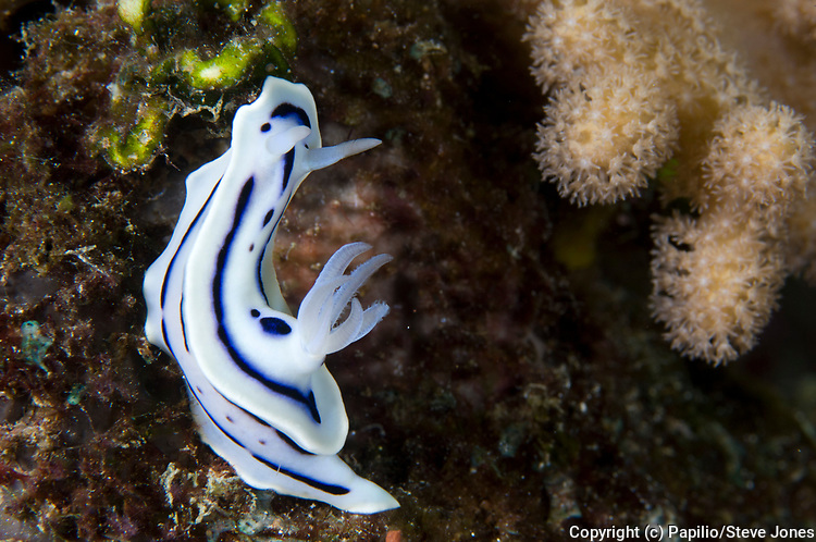 Loch's chromodoris (Chromodoris lochi) amongst coral, depth 12 metres, Florida Islands, Solomons