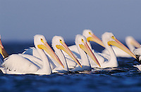 American White Pelican (Pelecanus erythrorhynchos), group swimming, Rockport, Texas, USA, December 2003