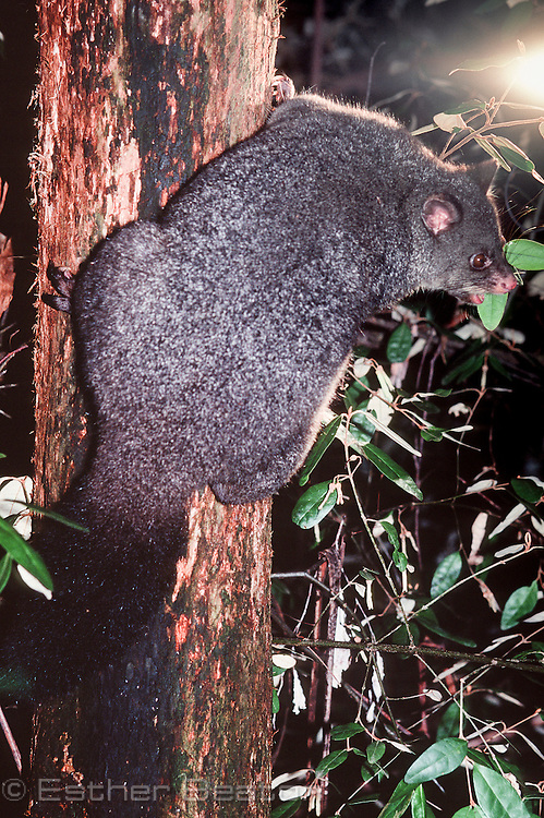 Bobuck or Mountain Brushtail Possum (Trichosurus cunninghamii) showing thick pelt. Central Highlands, Victoria.